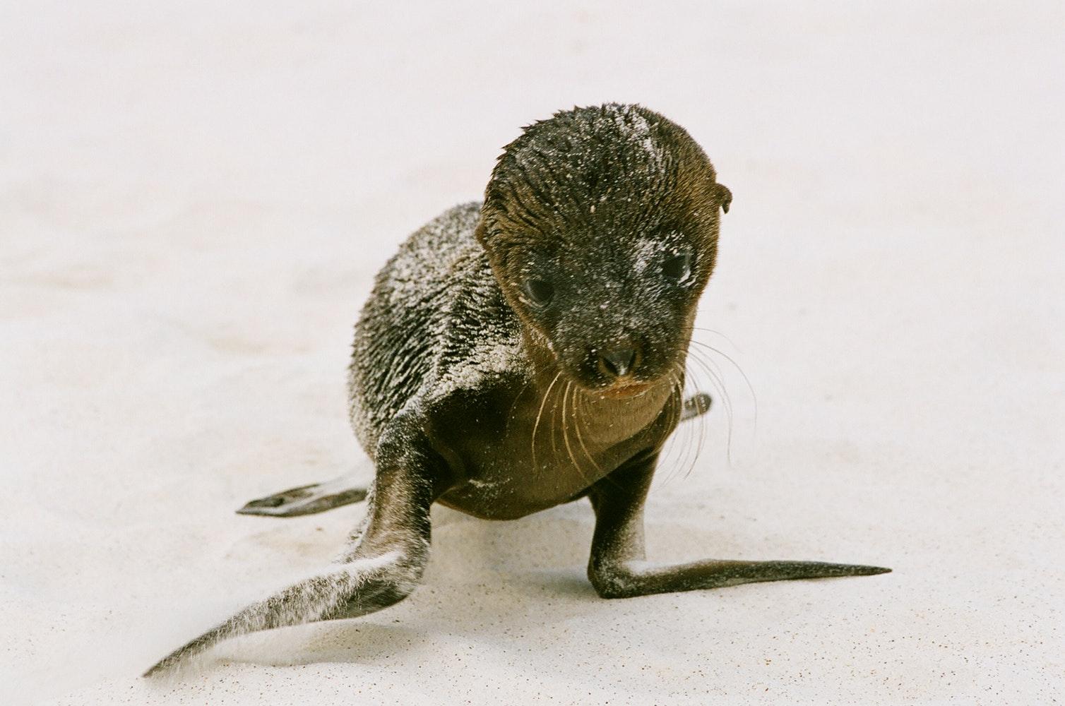 beba crnog tuljana