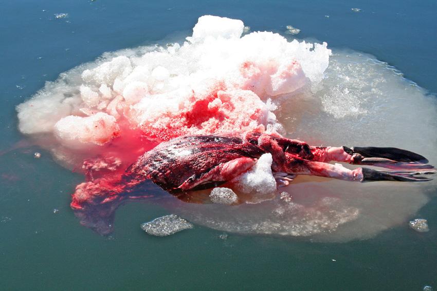 ubijena beba tuljana